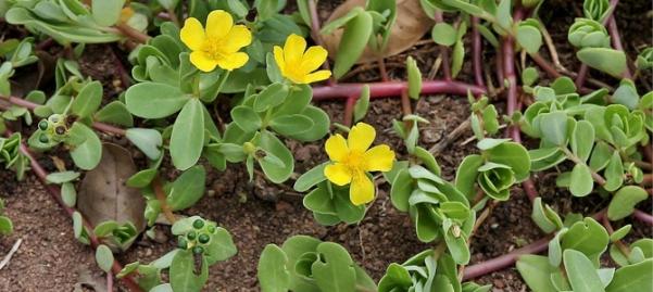 Portulaca Oleracea Extract.jpg