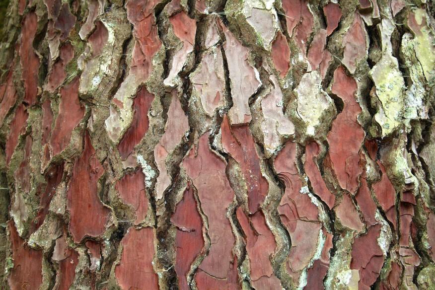 Pinus_pinaster_JPG2.jpg