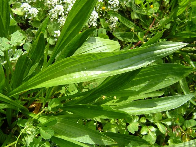 plantago_lanceolata_ribwort_plantain_leaf_05-05-05.jpg