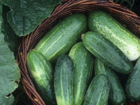 david-cavagnaro-cucumber-harvest-in-a-basket-fancipak-variety-cucumis-sativus.jpg