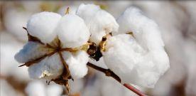 xqjp6tzfs9s6uvtims6m_cotton3