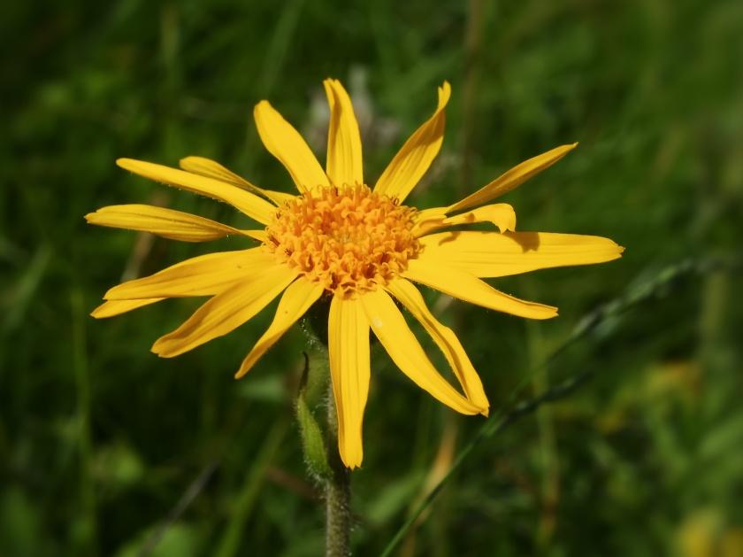 Arnica_montana_(flower_head).jpg