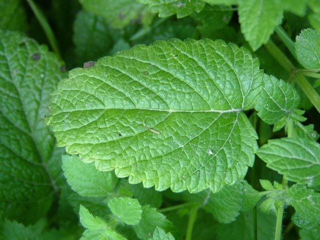 melissa_officinalis_lemon_balm_leaf_02-08-04.jpg