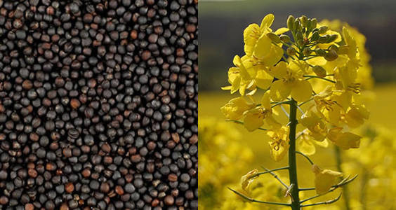 canola-and-its-seeds.jpg